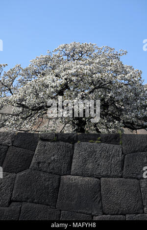 Cherry tree in full bloom on donjon base wall of Imperial Palace, Tokyo, Japan - Stock Photo
