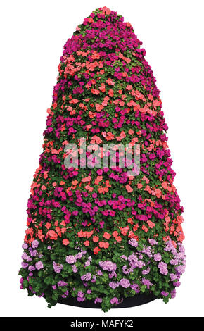 Impatiens Walleriana Sultanii Busy Lizzie Flowers Plant Pyramid, Isolated Large Detailed Colorful Vertical Closeup Pyramidal Pattern, Magenta, Purple - Stock Photo