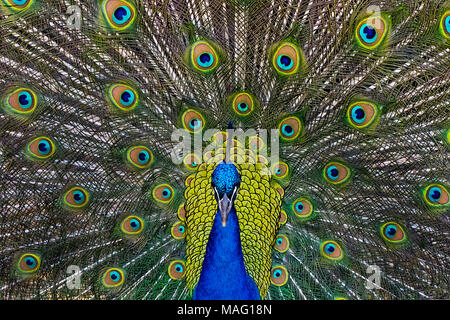Male Peacock Strutting - Stock Photo