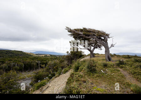 flag tree in Tierra Del Fuego, bent by the strong wind,  Patagonia, Argentina. - Stock Photo