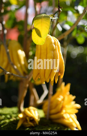 Tree with Buddha's hand citron fruits in Kyoto, Japan. Asian exotic citrus fruit resembling a fingered hand or an octopus, Citrus medica var. sarcodac - Stock Photo