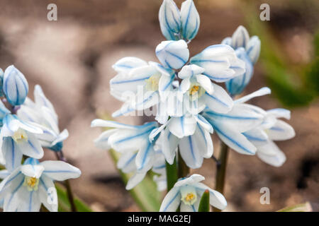 Close-up of flower of Puschkinia scilloides, striped squill - Stock Photo