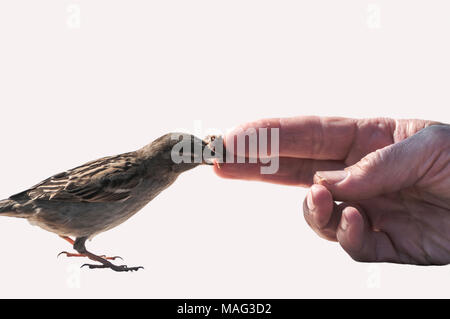 a sparrow eats a crumb of bread from a man's finger - Stock Photo