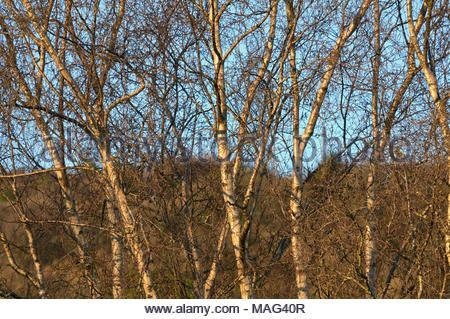 Silver birch trees betula pendula in the uk winter sunshine - Stock Photo