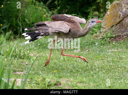 Speeding South American  Red legged seriema or crested cariama (Cariama cristata) walking fast and caught in mid air - Stock Photo