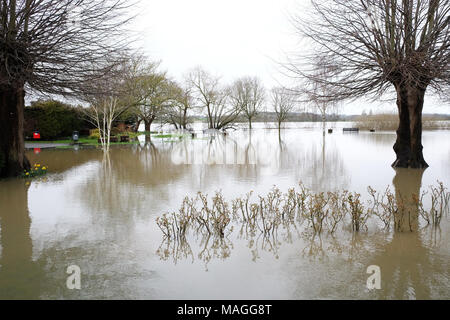 Tewkesbury, Gloucestershire - Bank Holiday Monday 2nd April 2018 - UK Weather: Flooding in Victoria Gardens beside the confluence of the River Severn and the River Avon has drowned rose beds and daffodils in the park  -  Photo Steven May  / Alamy Live News - Stock Photo