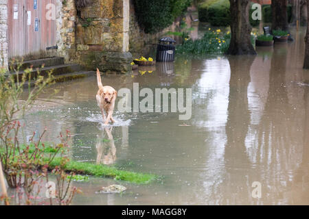 Tewkesbury, Gloucestershire - Bank Holiday Monday 2nd April 2018 - UK Weather: A dog enjoys the flooding in Victoria Gardens beside the confluence of the River Severn and the River Avon - Photo Steven May  / Alamy Live News - Stock Photo