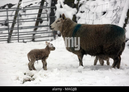 Lancashire, UK, 2 April 2018. A Ewe and two Lambs in a snow covered field,  Halifax Road, Lancashire, 2nd April, 2018 (C)Barbara Cook/Alamy Live News - Stock Photo