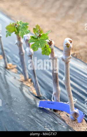 Grafted & waxed wine grape cuttings planted in field rows 'Vitis vinifera'. - Stock Photo