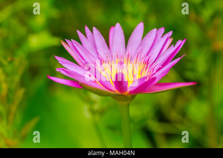 Pink lotus flower growing upright on nature background - Stock Photo