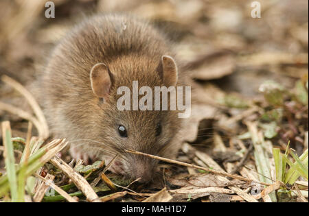 A cute baby wild Brown Rat (Rattus norvegicus) searching for food in the undergrowth. - Stock Photo