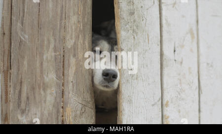 Old dogs Looking through a Fence. Video. Sad tan and white dog looking through hole in timber fence. Black and white cute dogs looking through closed gate - Stock Photo