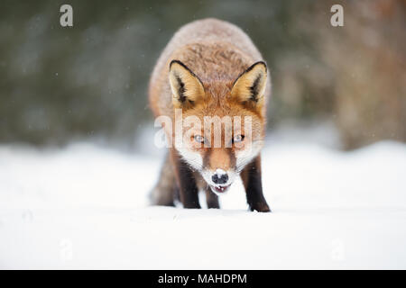 Close-up of a Red fox in snow during winter, UK. - Stock Photo