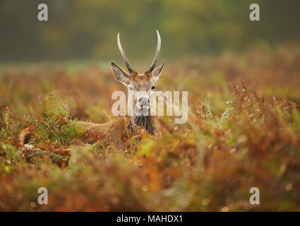 Close up of a young red deer stag in the field of fern in autumn, UK. Urban wildlife, London. - Stock Photo
