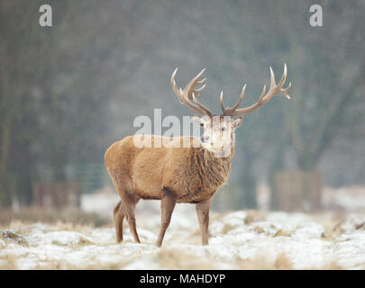 Close up of a Red deer stag standing on a snowy grass in winter, UK. - Stock Photo