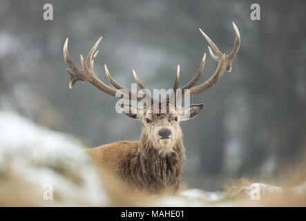 Close up of a Red deer stag lying on a snow in winter, UK. - Stock Photo