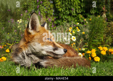 Red fox lying in the garden with flowers, summer in UK. - Stock Photo