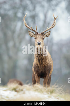 Close up of a young red deer stag in winter, UK. - Stock Photo