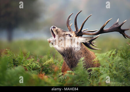 Close-up of a Red deer roaring during the rut in autumn, UK. - Stock Photo
