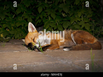 Close up of a red fox sleeping in the garden, UK. - Stock Photo