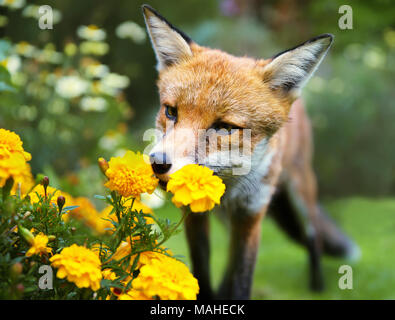 Red fox smelling marigold flowers in the garden, summer in UK. - Stock Photo