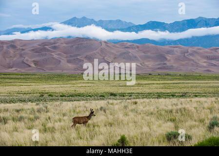 Mule Deer (Odocoileus hemionus), buck, Great Sand Dunes NP, CO, USA, by Bruce Montagne/Dembinsky Photo Assoc - Stock Photo