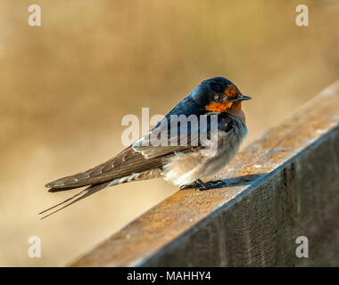 A welcome swallow perched on a bridge in northern queensland, australia - Stock Photo