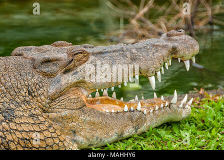 Saltwater Crocodile in Queensland, Australia - Stock Photo