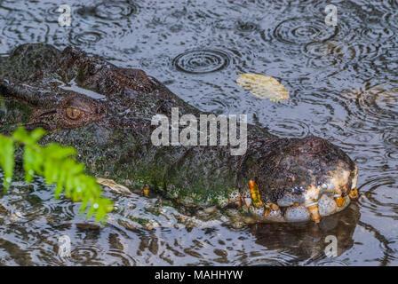 Saltwater Crocodile in Queensland, Australia - Stock Photo
