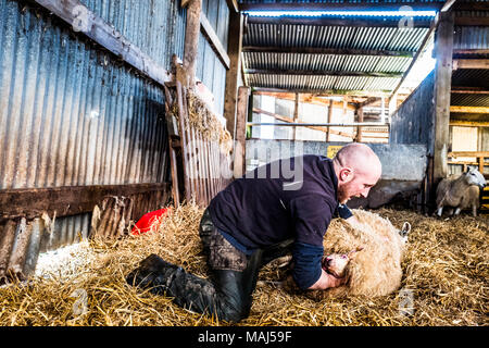 Oxnam, Jedburgh, Scottish Borders, UK. 23rd March 2018. North Country Cheviot Mule ewes and lambs in a lambing shed. - Stock Photo