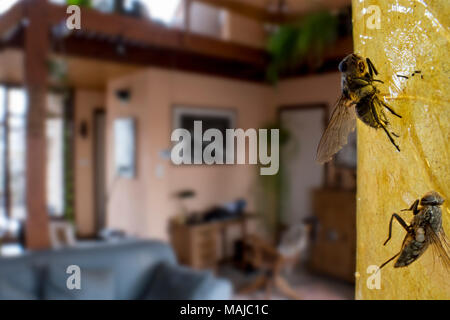 Two dead houseflies / house flies (Musca domestica) trapped in sticky flypaper / fly ribbon / fly capture tape in living room at home - Stock Photo
