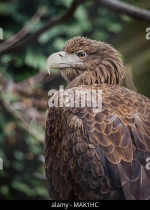 The white-tailed eagle (Haliaeetus albicilla), also known as the ern, erne, gray eagle, Eurasian sea eagle and white-tailed sea-eagle, is a large bird Stock Photo