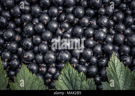 Summer black currant berries crop leaves  harvest background - Stock Photo