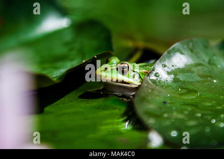 on a large green leaf sitting green toad - Stock Photo