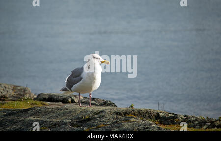 Western Gull, Larus occidentalis, standing on a rocky cliff over the ocean - Stock Photo