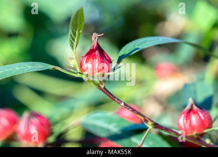 Hibiscus sabdariffa or roselle fruits on plant. This is a medicinal herb, heat-resistant, anti-fungal, anti-inflammatory cure for humans - Stock Photo