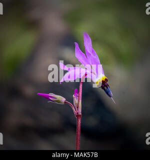 Pink Shooting stars (Dodecatheon) in nature selective focus wildflower - Stock Photo