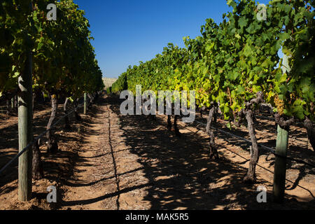 Rows of grape vines growing on a wine farm in Constantia, South Africa. - Stock Photo
