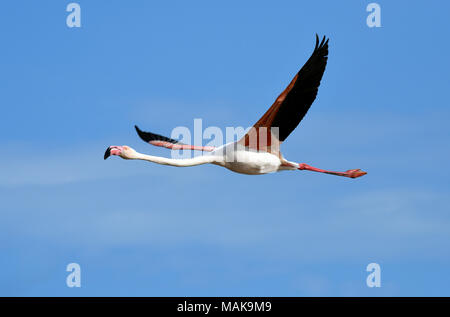 Pink Flamingo in flight in the Camargue, France. - Stock Photo