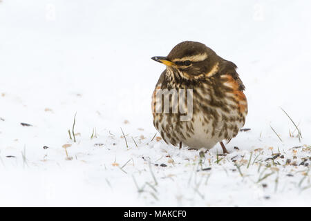 Redwing (Turdus iliacus) in Snowy Conditions in the UK - Stock Photo