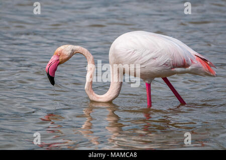greater flamingo, Phoenicopterus roseus, Aiguamolls Emporda, Catalonia, Spain - Stock Photo