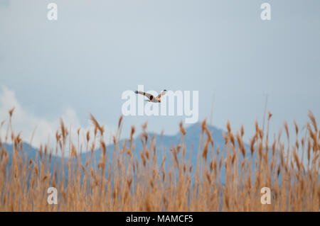 Marsh Harrier, Circus aeruginosus, flying over reed, Aiguamolls Empordà, Catalonia, Spain - Stock Photo