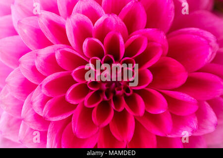 Macro shop of pink dahlia. Shot with shallow depth of field. - Stock Photo
