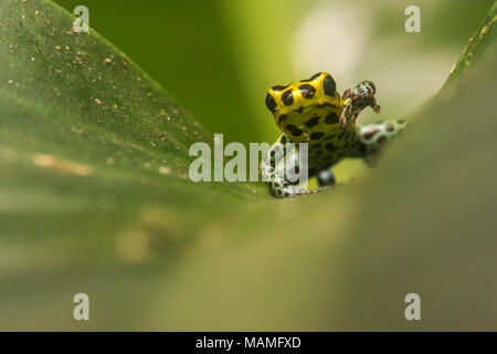 A small poison frog (Ranitomeya imitator) a species that is considered to be one of the thumbnail poison frogs on a leaf in the Peruvian jungle. - Stock Photo