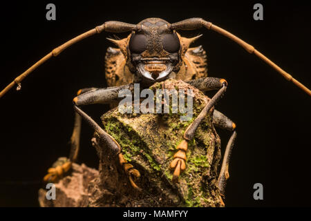 A tropical beetle portrait from the Peruvian jungle near Tarapoto, an impressive beetle even more so when seen up close. - Stock Photo