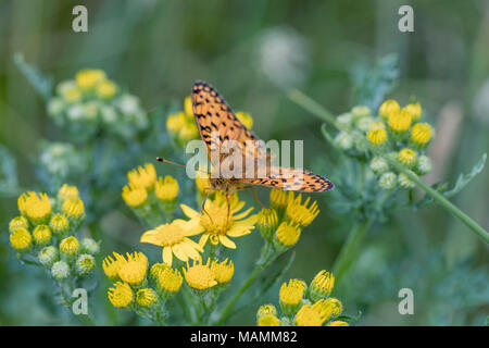 Dark Green Fritillary Butterfly; Argynnis aglaja Single on Flower Cornwall; UK - Stock Photo