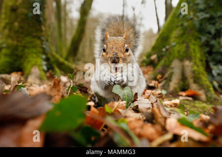 Grey Squirrel; Sciurus carolinensis Single Eating Cornwall; UK - Stock Photo