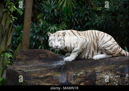 Tiger in a jungle. White Bengal tiger on tree trunk with forest on background - Stock Photo