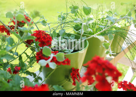 Verbena flowers in pots on terrace - Stock Photo