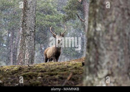 Red Deer; Cervus elaphus Single; Stag in Snow Scotland; UK - Stock Photo